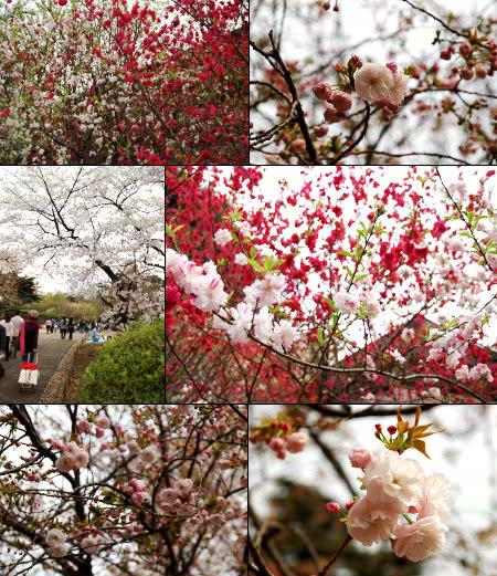 Cherry7